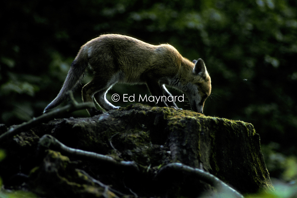 Red fox (vulpes vulpes), standing on a tree stump in woodland near Loughborough, Leicestershire, England, UK.