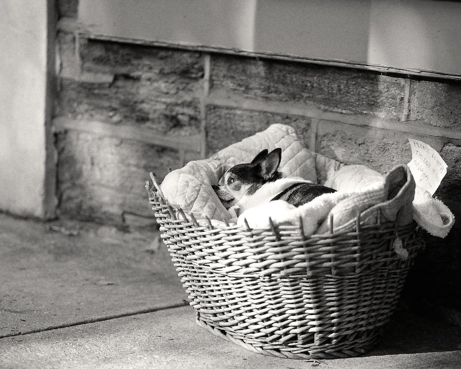 Senior Chihuahua enjoying His Golden Years in Chestnut Hill, Philadelphia.