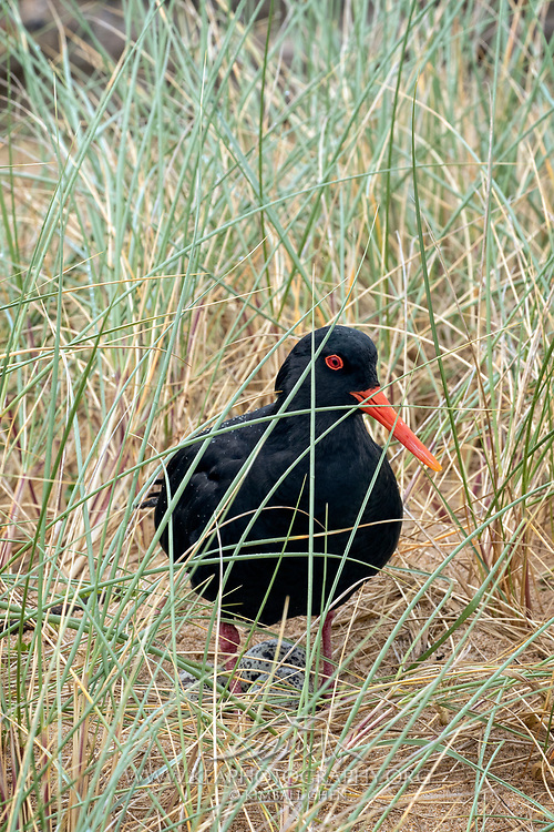 A variable oystercatcher guards its eggs nestled in the coastal grass.