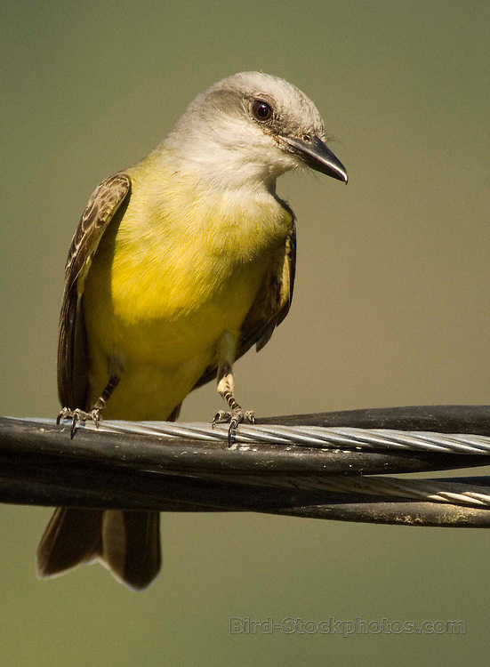 Tropical Kingbird, Tyrannus melancholicus, on branch, Costa Rica, by Owen Deutsch