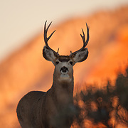 A mule deer stares into the camera at sunset along the Eagle River in Colorado.
