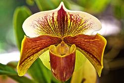 A Orquídea Sapatinho ou Paphiopedilum da família Orchidaceae, é uma flor de crescimento monopodial, com tamanho até 15cm de folhas estreitas flexíveis, com a nervura central bem marcada. As flores de 6x9 cm tem formato exótico, onde o labelo tem o formato de um queixo ou sapato, sendo conhecidas como queixuda ou sapatinho. FOTO: Jefferson Bernardes/Preview.com
