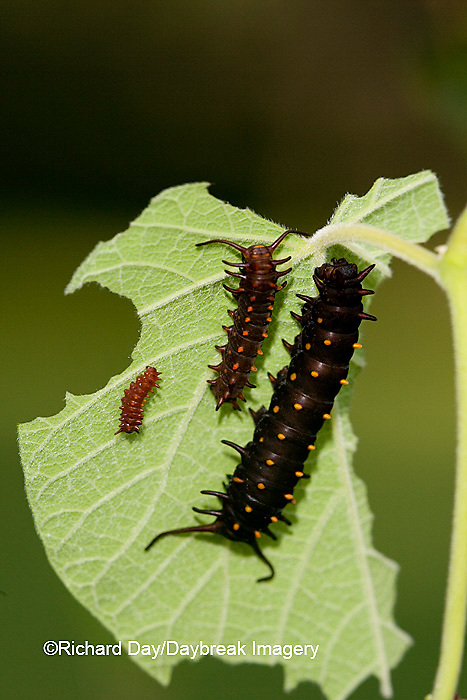 03004-007.04 Pipevine Swallowtail (Battus philenor) caterpillars on Dutchman's Pipevine (Aristolochia marophylla) Marion Co.  IL