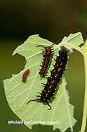03004-007.04 Pipevine Swallowtail (Battus philenor) caterpillars on Dutchman's Pipevine (Aristolochia marophylla) Marion Co.  IL