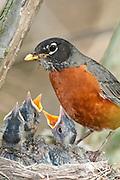American Robin, Turdus Migratorius, male at nest, Magee Marsh, Ohio