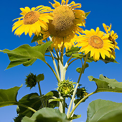 Sunflowers and blue sky.  Portsmouth, New Hampshire.