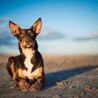 Kelpie Dogs