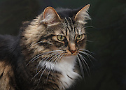 """Loki is a gentle 10 year old Maine-Coon like tabby rescued as a kitten from a field in Inglewood, California. Loki is an exceptionally good-natured cat with just a touch of mischief. He has criss-crossed the country several times and has lived overseas in the Netherlands where he acquired a second name """"mooi"""" (beautiful). Note: For BIRDERS: Loki is an indoor cat with only closely supervised outdoor visits in a dog run where most of these photos are taken."""