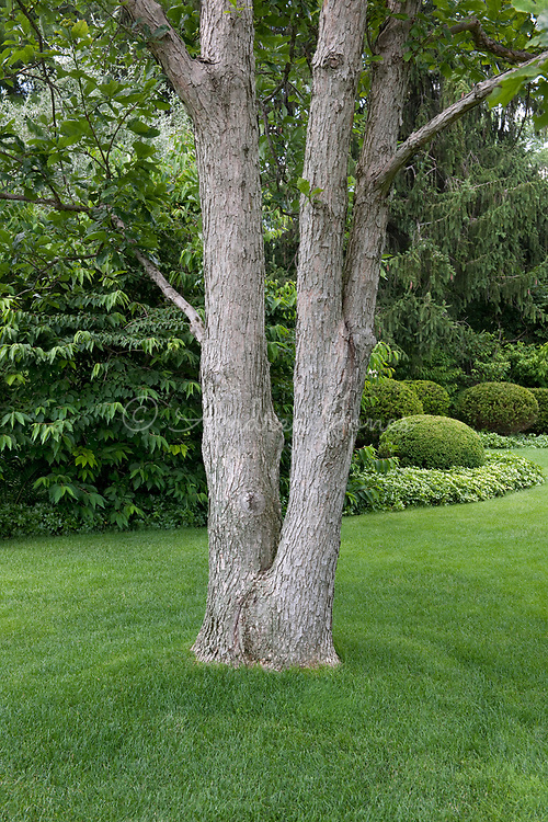 Quercus bicolor (Swamp white oaks) growing on manicured lawn