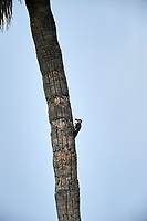 Golden-fronted Woodpecker (Melanerpes aurifrons) on palm tree  San Juan Cosala, Jalisco, Mexico
