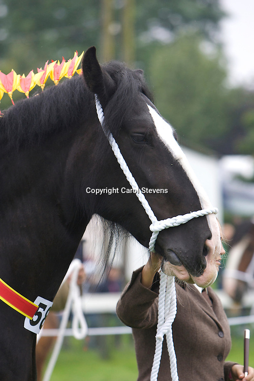 Mr J S &amp; Miss N Cross's Black Mare   Westfield Lucky Charm  f 2004<br /> sired by Leverton Oscar