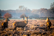 UNITED KINGDOM, London: 18 December 2017 A small group of red deer stand amongst the foliage in the early morning light in Richmond Park, London this morning. Rick Findler / Story Picture Agency