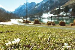 THEMENBILD - weiße Krokusse vor dem Klammsee, aufgenommen am 25. März 2018, Kaprun, Österreich // white crocuses in front of the Klammsee on 2018/03/25, Kaprun, Austria. EXPA Pictures © 2018, PhotoCredit: EXPA/ Stefanie Oberhauser