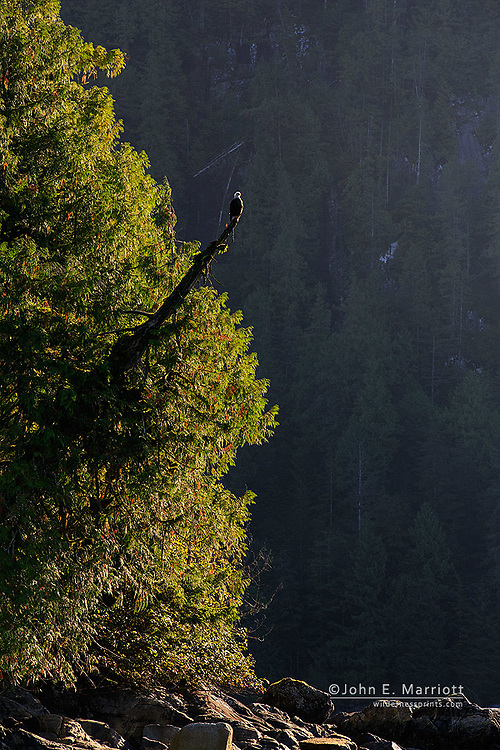 Bald eagle, Great Bear Rainforest, British Columbia, Canada