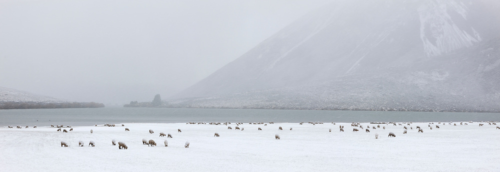 Sheep on snow covered pasture  beside Lake Pearson, Canterbury, New Zealand.