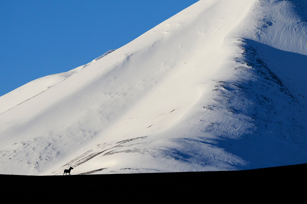 Kiang (Equus kiang) silhouetted against snowy mountain. Changtang Wildlife Sanctuary. Ladakh. Jammu and Kashmir. India.