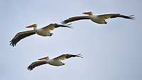 Three White Pelicans in Flight. Merritt Island National Wildlife Refuge in Florida. Image taken with a Nikon D3s camera and 80-400 mm VRII lens (ISO 200, 400 mm, f/5.6, 1/1000 sec).