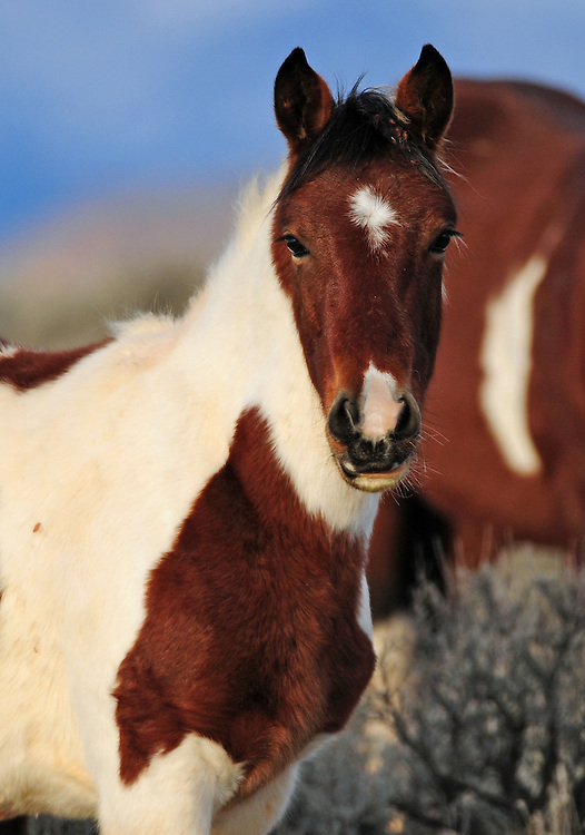 A flashy paint foal poses near his mother at the McCullough Peaks Herd Management Area near Cody, Wyoming.