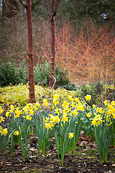 Narcissus with the trunks of Prunus serrula var. tibetica beyond in the Winter Garden at Dunham Massey