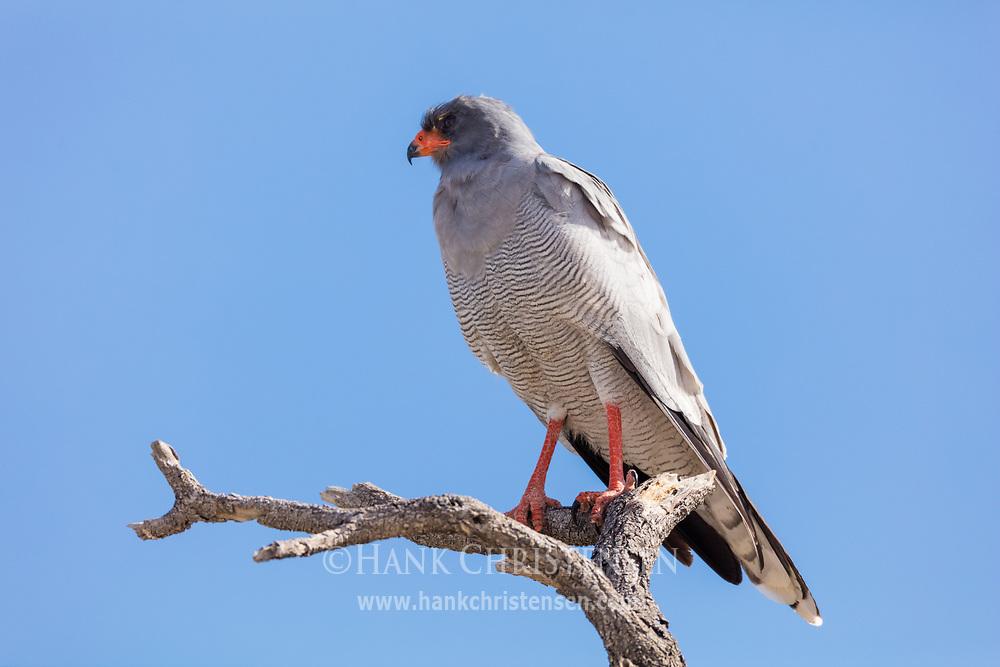 A pale chanting goshawk perches on a sturdy branch, Etosha National Park, Namibia.