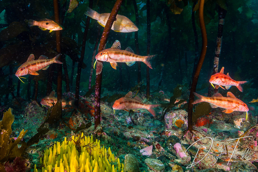 Goat fish & Spottys under the ekclonia kelp forest at Tawharanui marine reserve. Hauraki Gulf, New Zealand.