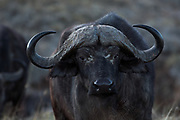 Cape Buffalo, Ngorongoro Crater, Serengeti National Park, Tanzania, Africa