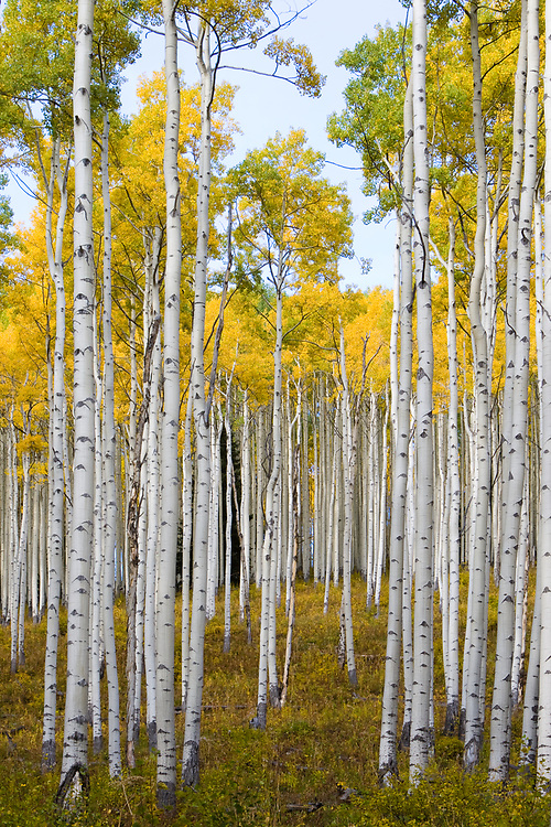 Aspens during autumn along the road in Lime Park Colorado.
