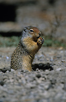 Columbian Ground Squirrel (Spermophilus elegans), Banff National Park, Alberta, Canada