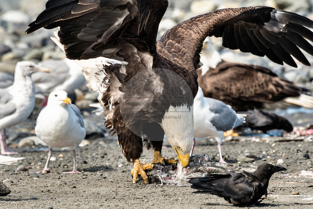 An adult bald eagle eats fish scraps surrounded by complaining gulls on the beach at Anchor Point, Alaska.