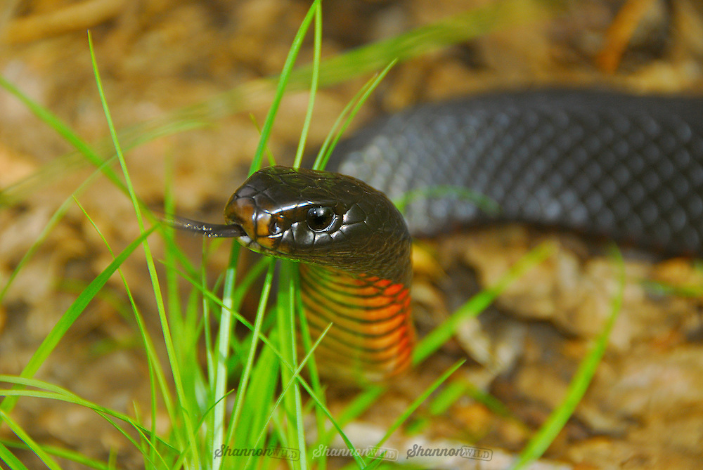 Red-bellied Black Snake (Pseudechis porphyriacus) tongue flicking.  Native to Australia.