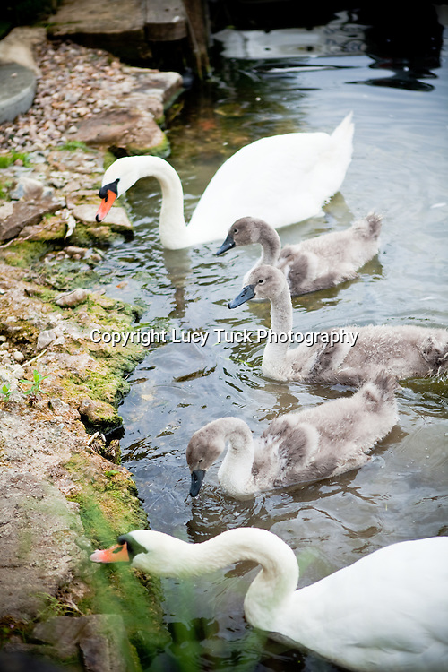 cygnets and swans feeding, family of swans, cygnets feeding