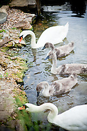 cygnets and swans feeding, family of swans, cygnets feeding