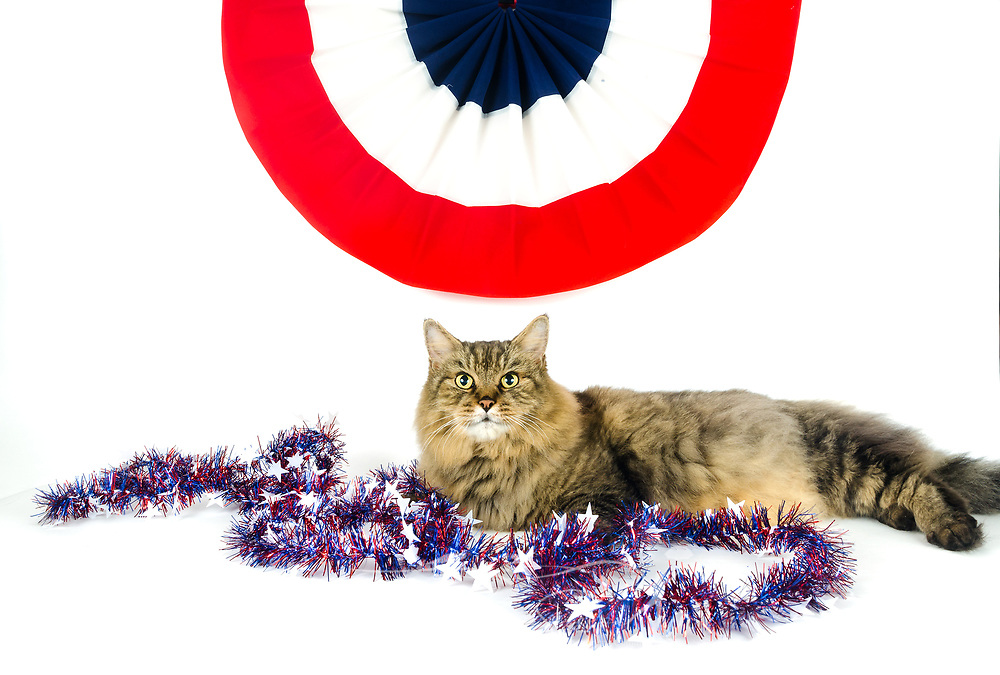 Pretty Boy, a domestic long-haired Maine Coon cat, poses for a Fourth of July holiday picture, July 5, 2017, in Coden, Alabama. (Photo by Carmen K. Sisson/Cloudybright)