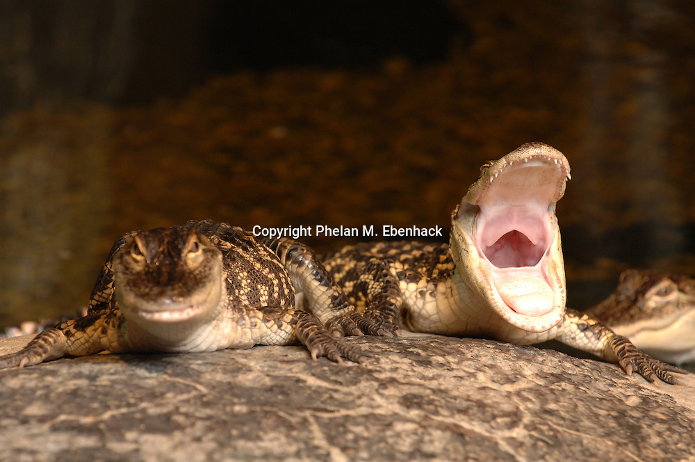 A young alligator opens its mouth while resting on a rock in Orlando, Florida.