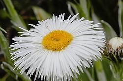 Mountain daisy, Celmisia spec. New Zealand