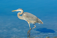 Great Blue Heron. Image taken with an Nikon D2xs and 80-400 mm VR lens (ISO 400, 120 mm, f/8, 1/1000 sec).