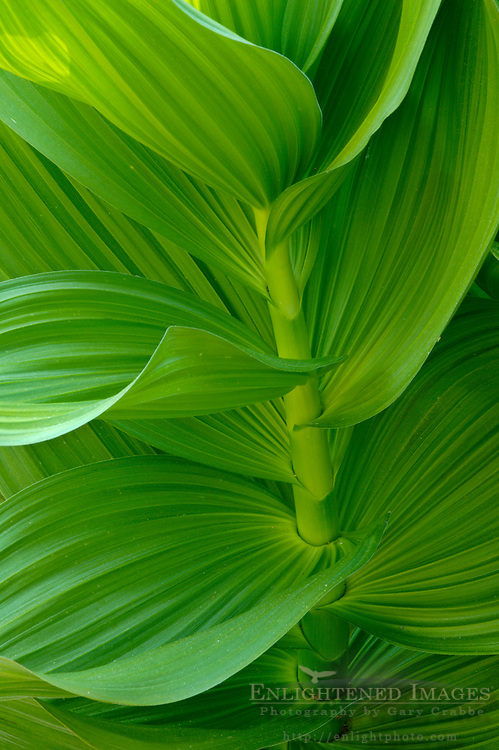 Green Corn Lily plant leaf detail in meadow near Dorst Creek, Sequoia National Park, California