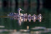 Mallard, Anas platyrhynchos, adult female and ducklings, Chippewa County, Michigan