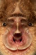 """Greater Horseshoe Bat (Rhinolophus ferrumequinum). Wingspan with up to 40 centimeters this bat is the largest European species of horseshoe bats. The species is regarded in Germany as threatened with extinction. Its name comes from the special shape of their nose. The supreme nosepiece, the tip pointing upward between the eyes is called a lancet. The middle part of the nose that runs like a vertical bar is called a saddle. At the lower end of the saddle are the nostrils, which are funnel-shaped encircled by the horseshoe. The irregular edge of the horseshoe features this animal as a senior individual (life span 30 years), young animals have smooth empty margins. The special external anatomy of the nose is less the sense of smell rather than the forms of a """"sound cone"""". The horseshoe bat calls through the nose and molded it with their help a sonar beam in the ultrasonic range. Grosse Hufeisennase (Rhinolophus ferrumequinum). Mit einer Fluegelspannweite von bis zu 40 Zentimetern ist diese Fledermaus die groesste europaeische Hufeisennasenart. Die Art gilt in Deutschland als vom Aussterben bedroht. Ihren Namen verdankt diese Fledermaus der besonderen Ausformung ihrer Nase. Der oberste Nasenaufsatz, der Zipfel, der zwischen den Augen nach oben zeigt, wird als Lanzette bezeichnet. Den mittleren Teil der Nase, der wie eine senkrechte Leiste verlaeuft, bezeichnet man als Sattel.  Am unteren Ende des Sattels befinden sich die Nasenloecher, welche trichterfoermig vom Hufeisen umkreist sind. Der unregelmaessige Rand des Hufeisens kennzeichnet dieses Tier als aelteres Individuum (Lebensspanne ca. 30 Jahre); junge Tiere besitzen glatte Raender. Die spezielle aeussere Anatomie der Nase dient weniger dem Geruchssinn als vielmehr dem Formen einer """"Schallkeule"""". Die Hufeisennase ruft durch die Nase und formt dabei mit ihrer Hilfe einen Echolot-Strahl im Ultraschallbereich."""