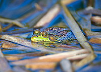 Green frog (Rana clamitans) in a pond, Upper Clements, Annapolis Royal, Nova Scotia, Canada,