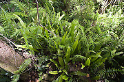 Rubber ferns and Fishbone ferns grow on forest floor in Barron Gorge National Park, Queensland, Australia