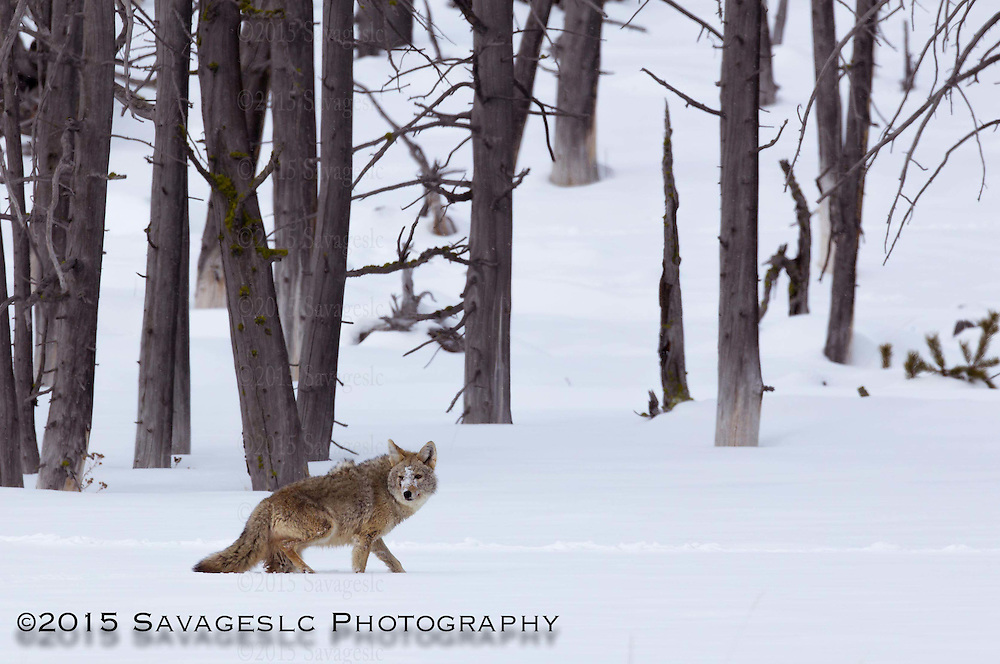 Coyote. January 2015