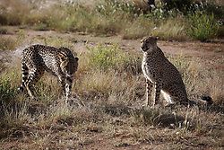 NAMIBIA KAMANJAB 27APR14 - Cheetahs prowl though a large enclosure at the Ojitotongwe Cheetah farm near Kamanjab, Namibia.<br /> <br /> <br /> <br /> jre/Photo by Jiri Rezac<br /> <br /> <br /> <br /> © Jiri Rezac 2014