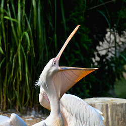 Pelican with wide open bill.