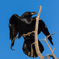 Raven, Hayden Valley, Yellowstone National Park