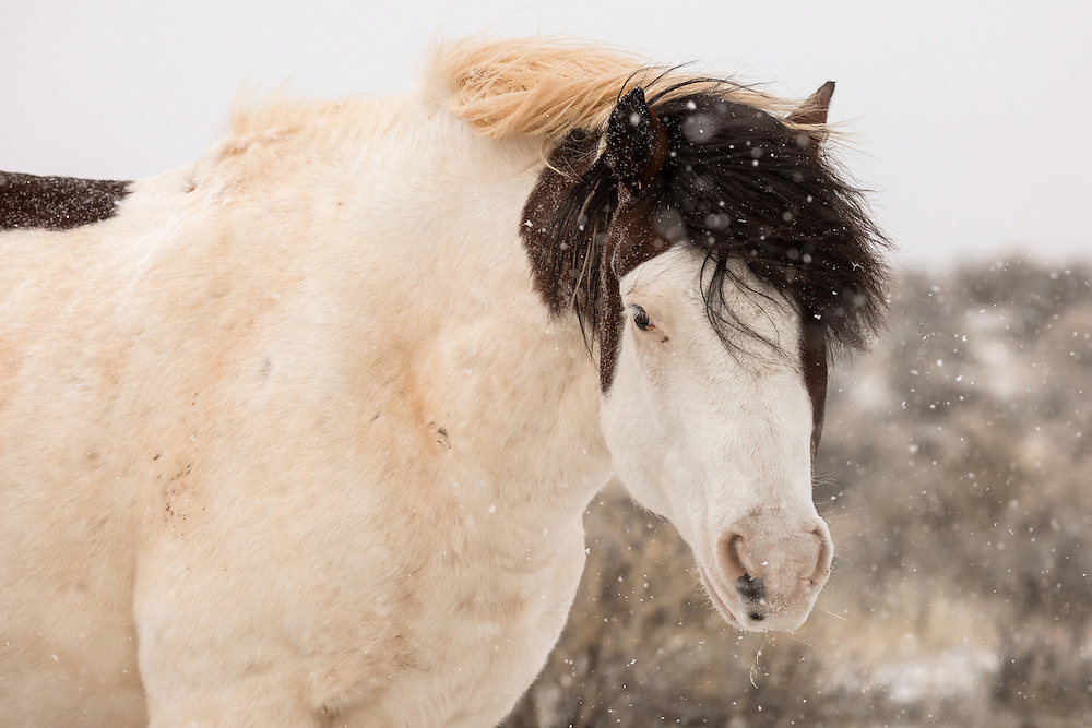 After a warm winter, the band stallion, Medicine Hat, braces for an April snowstorm at McCullough Peaks Herd Management Area outside Cody, Wyoming.