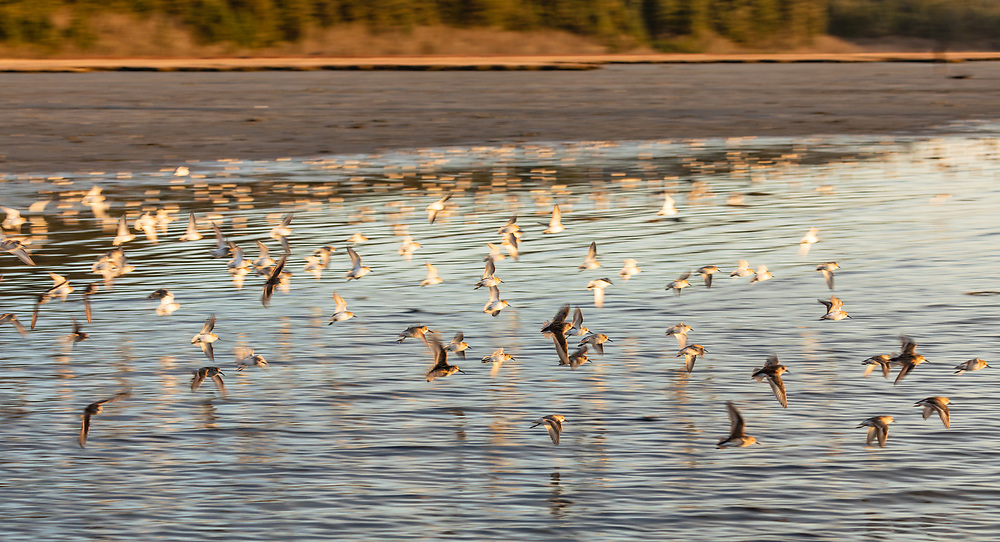 Western Sandpipers take flight over Hartney Bay in Cordova in Southcentral Alaska. Spring. Evening.