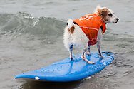 Buddy rides a wave facing the wrong direction.  Buddy, who is owned by Bruce Hooker from Ventura, won the 2009 Best in Surf title.