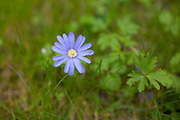 Blue daisy flower growing in wild border in springtime in Swinbrook in the Cotswolds, Oxfordshire, UK..