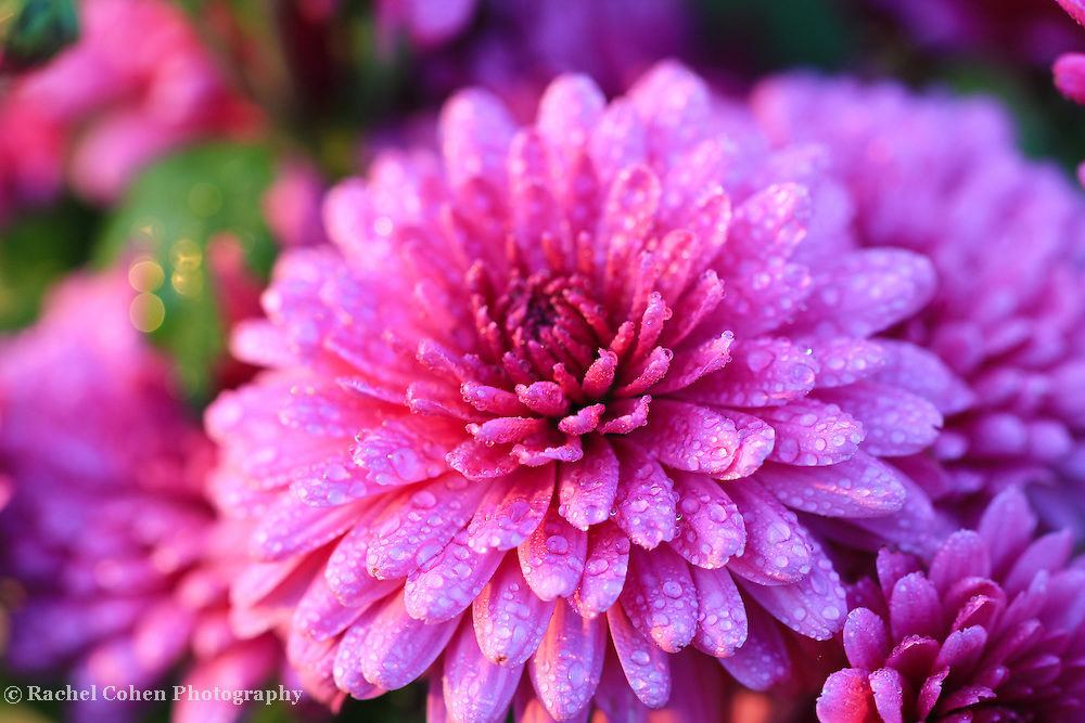 &quot;Purple Mums&quot;<br /> <br /> Beautiful purple fall Mums glistening with raindrops!<br /> <br /> Flowers and Wildflowers by Rachel Cohen